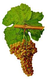 Marsanne Grape