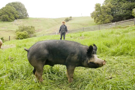 Wild pig in field