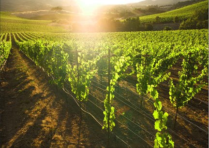 Light shining through vineyard