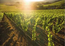 Light shining through vineyard