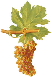 Roussanne Grape