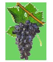 Cinsault Grape