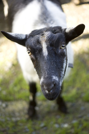 Up close photo of goat face