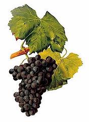 Grenache Grape