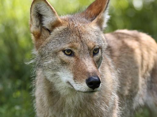 We Live Among Coyotes