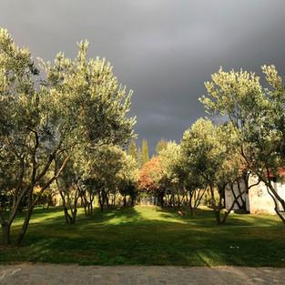 Zeytin ağaçlarımız
