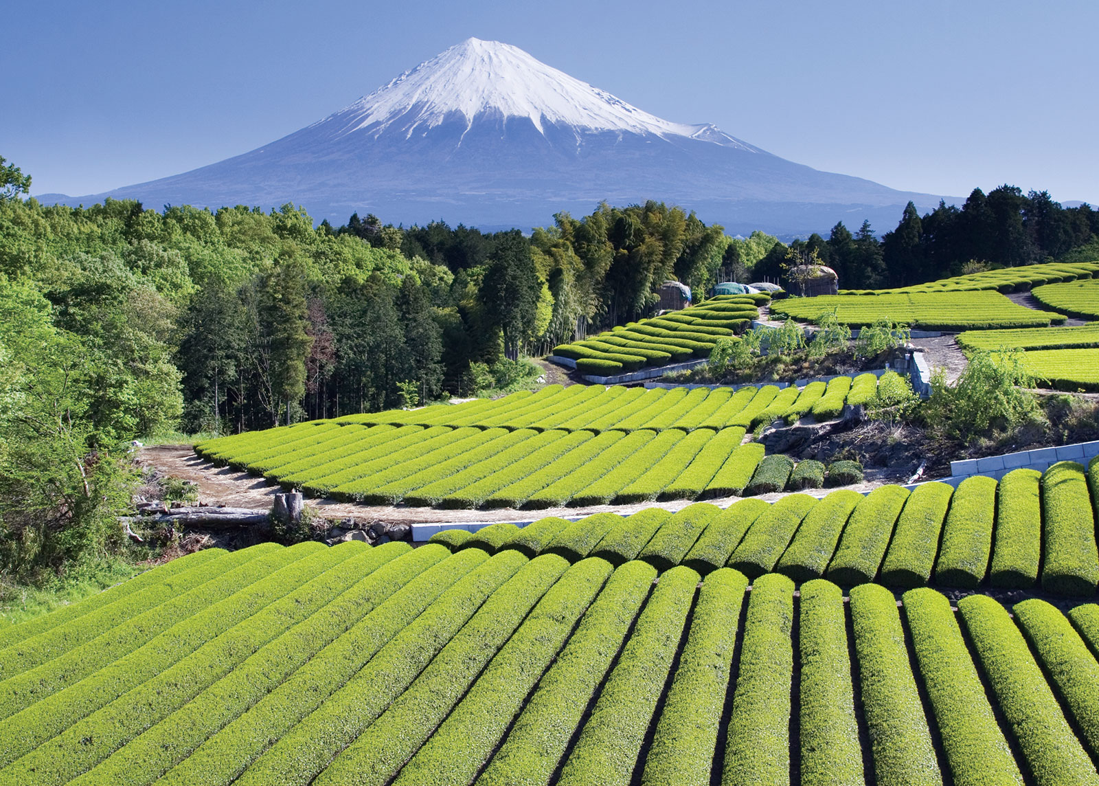 Mt. Fuji Tea Plantation
