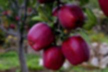 Royal_Red_Apple_edited.jpg