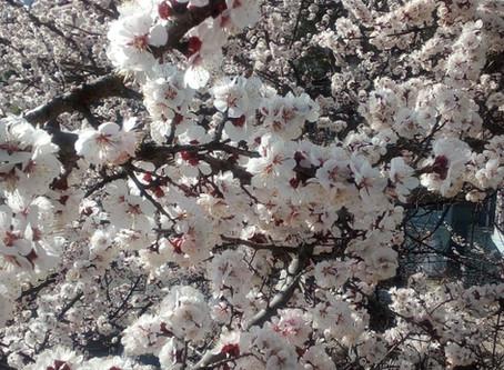 Blossoming Trees in Kinnaur