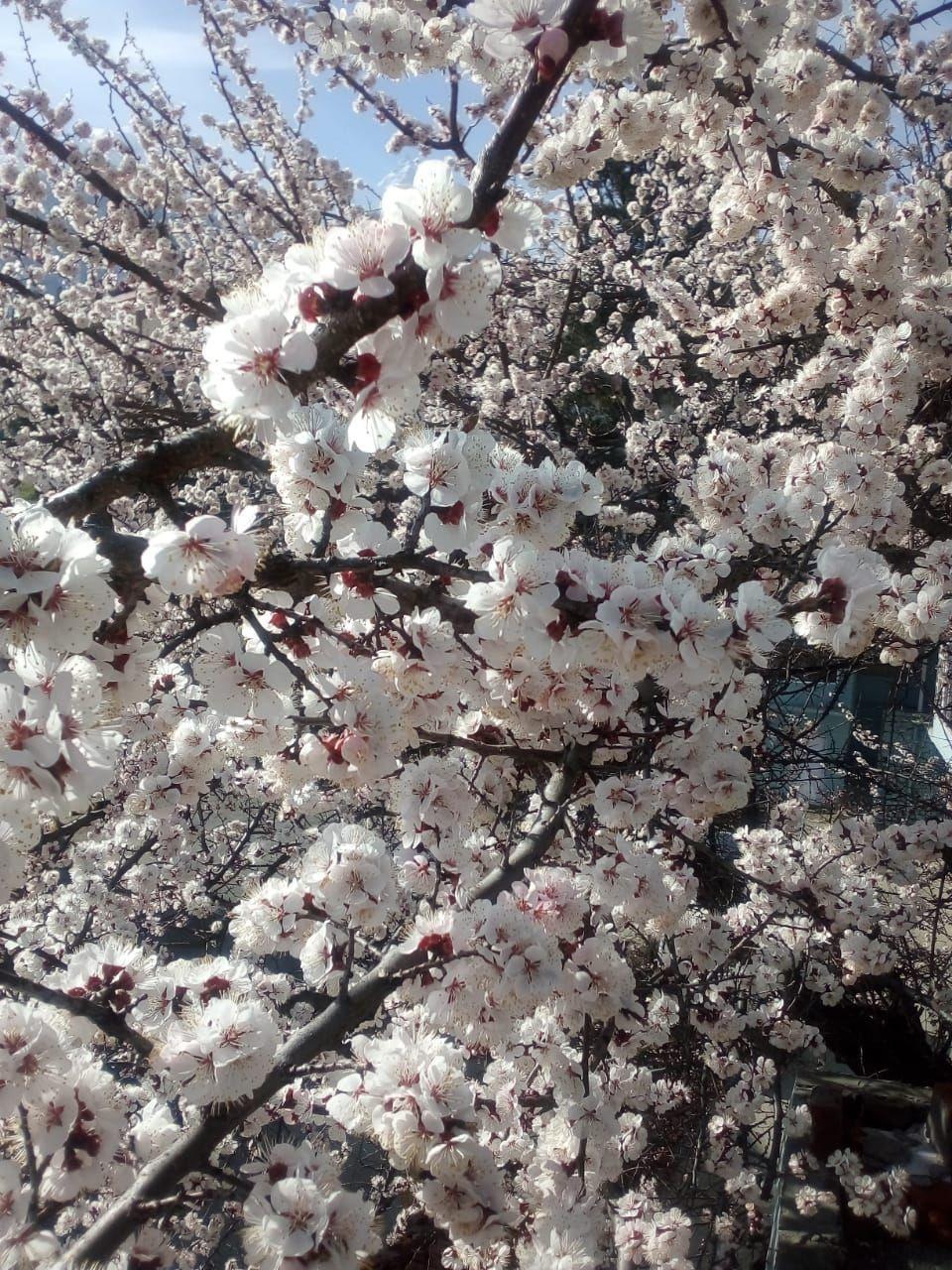 Trees blossoming | Kinnaurappletraders