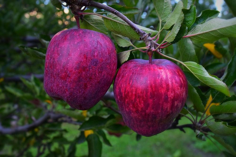 Kinnaur Royal red apple