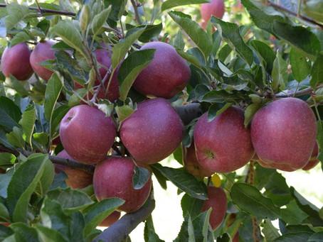 Here Comes The Kinnaur Apples , Season Begins !