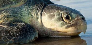 SeaTurtleInc-Turtle.jpg