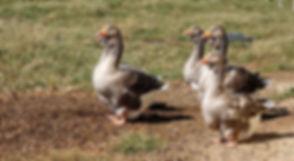 Geese2019.jpg