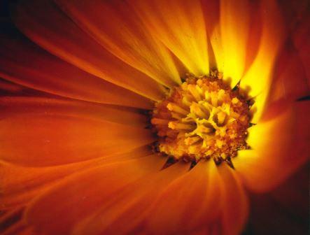 LP703 Fleur orange