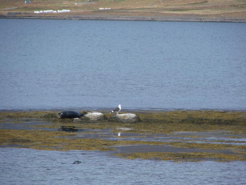 Westfjord seals