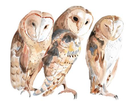 Barn Owl Trio