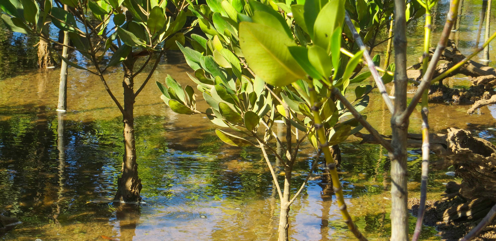 Madagascar_2013_Young mangroves closeup.