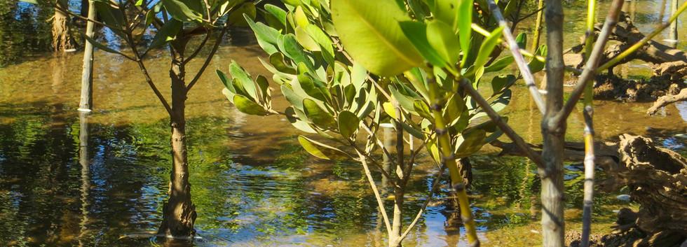 Madagascar_2013_Young mangroves closeup.