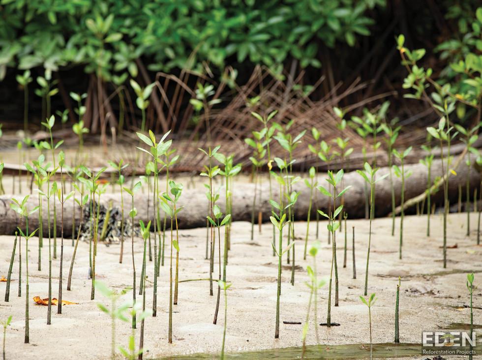 Indo Mangroves_W.jpg