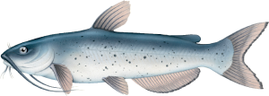 catfish-icon.png