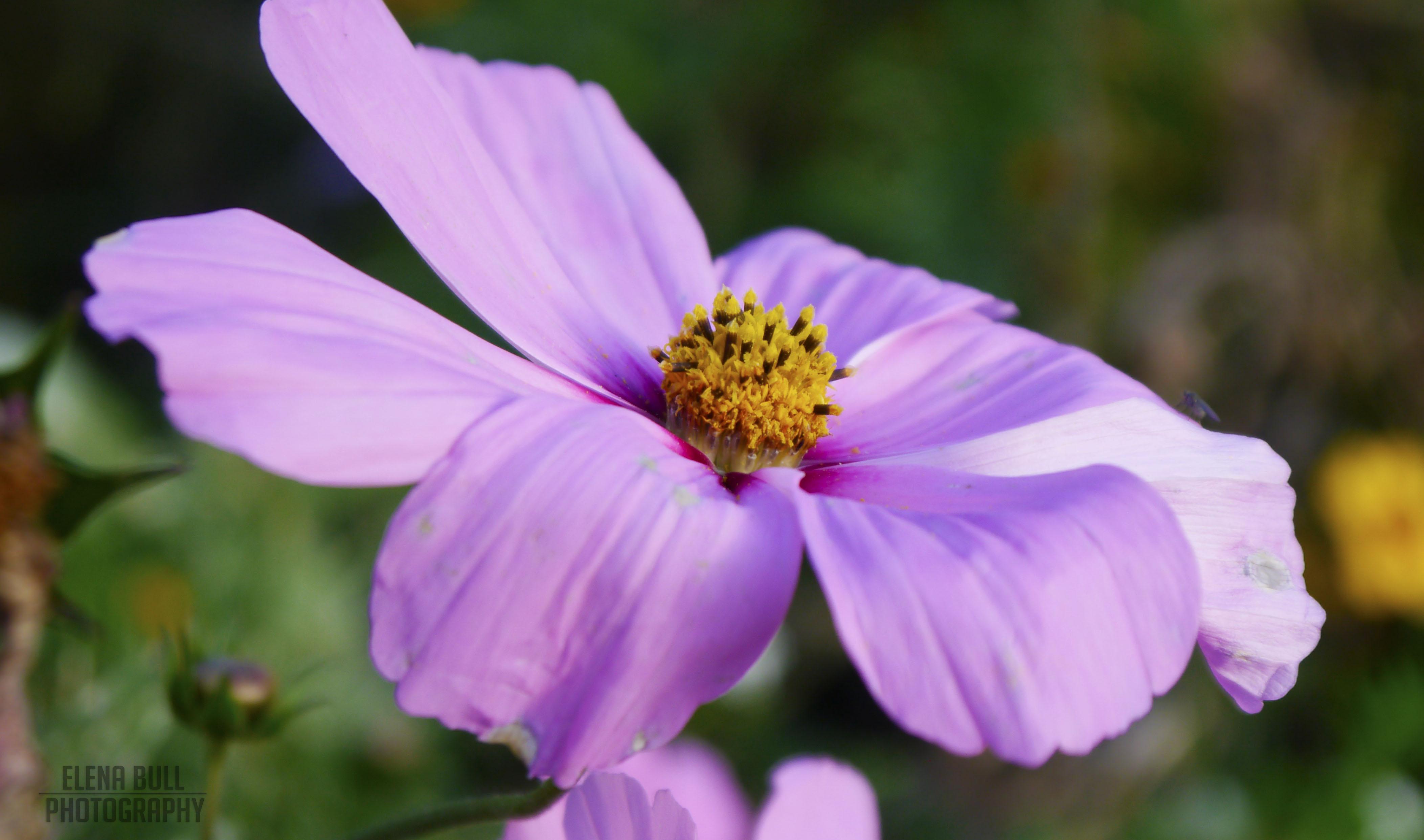Pale petals
