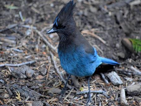 Avian Brigand