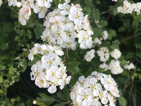 L'Aubépine ! Un miracle du printemps que nous offre mère nature !