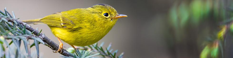 Phylloscopidae: Leaf Warblers, Warblers and Chiffchaffs