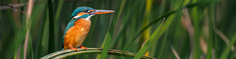 Alcedinidae: Kingfishers