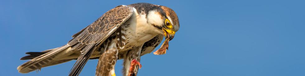 Falconidae: Falcons, Falconets and Hobbys