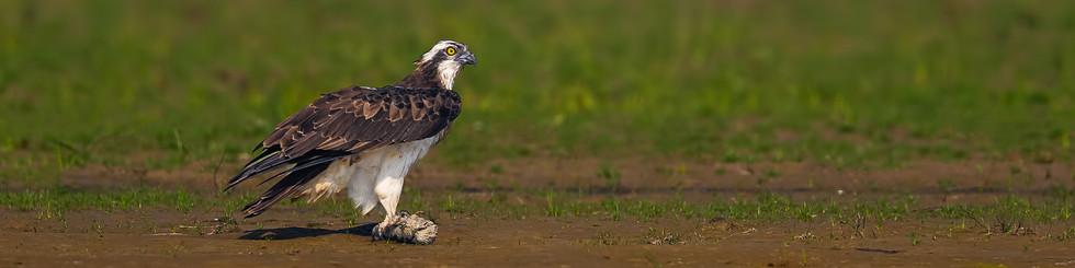 Pandionidae: Ospreys
