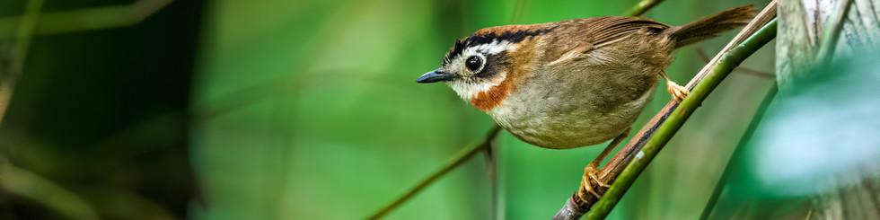 Paradoxornithidae: Fulvettas and Parrotbills