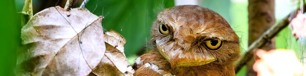Podargidae: Frogmouths