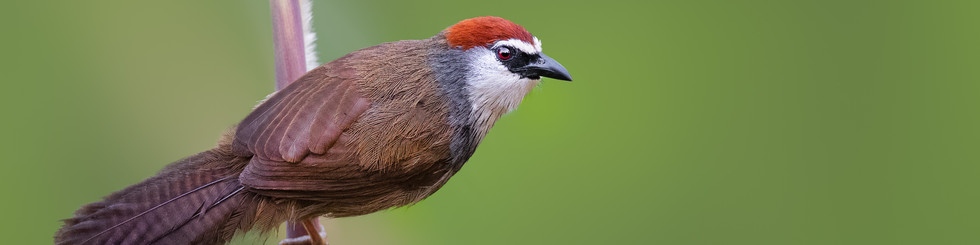 Timaliidae: Babblers and Wren-babblers