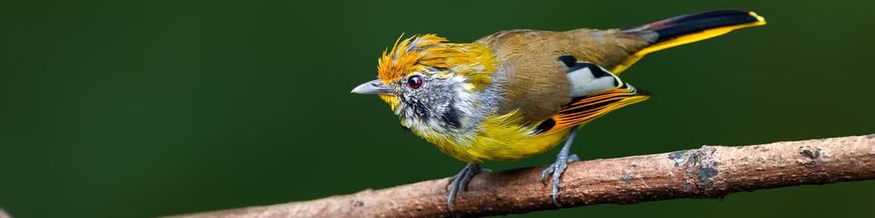 Leiothrichidae: Cutias, Sibias, Minlas, Barwings and Babblers