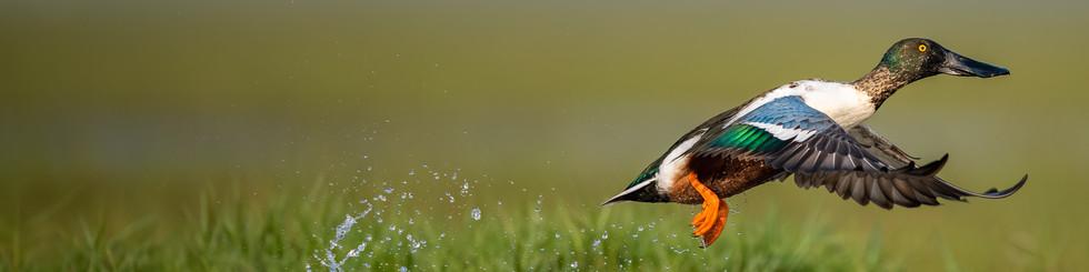Anatidae: Ducks