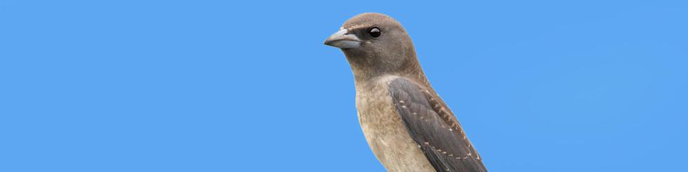 Artamidae: Woodswallows