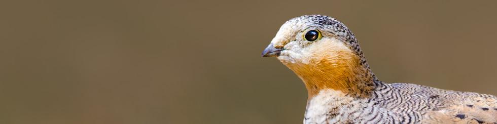 Pteroclidae: Sandgrouses