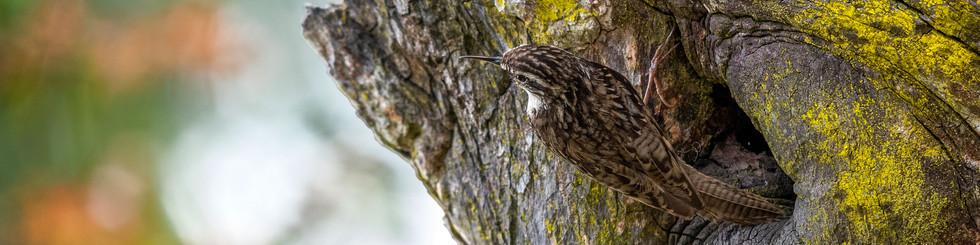 Certhiidae: Treecreepers