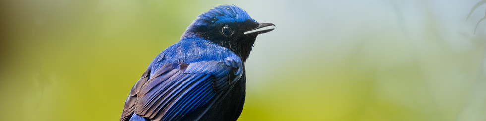 Muscicapidae: Robins, Redstarts and Forktails
