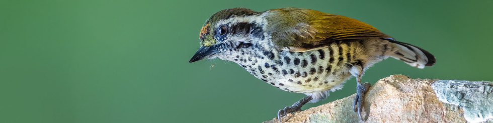 Picidae: Piculets, Dendrocopos Woodpeckers and Larger Woodpeckers