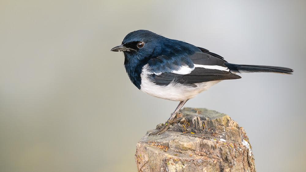 A male oriental magpie robin on a tree stub