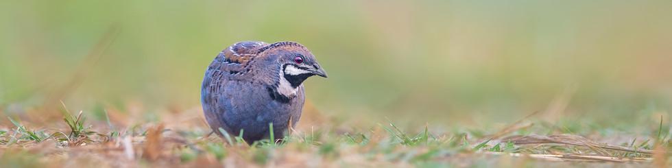 Phasianidae: Quails and Partridges