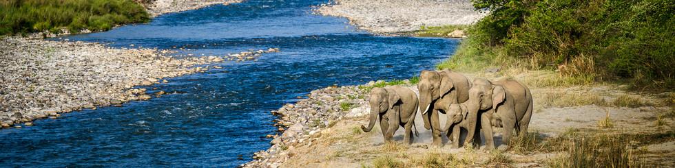 PROBOSCIDEA : Elephantidae