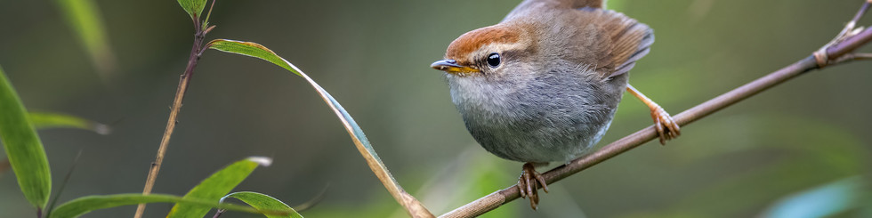 Cettiidae: Bush Warblers and Tesias