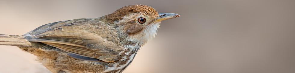 Pellorneidae: Ground Babblers