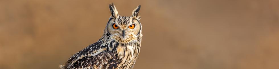Strigidae: Fish Owls, Eagle Owls and Larger Owls