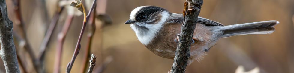 Aegithalidae: BushTits