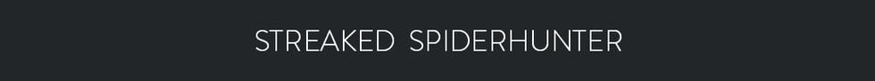 STREAKED SPIDERHUNTER  - Arachnothera magna